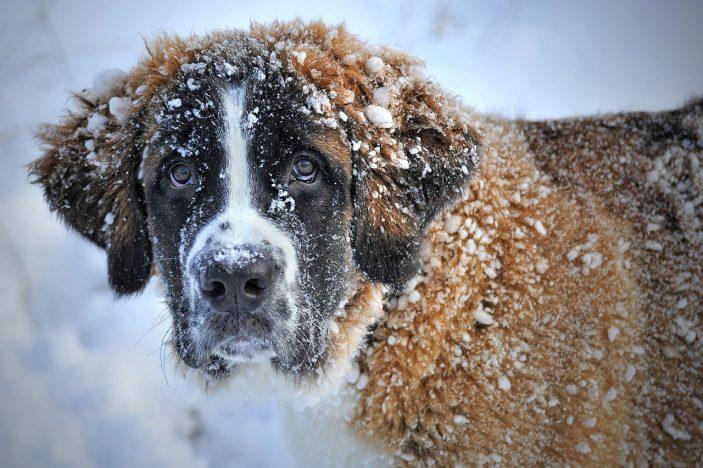 Le saint bernard fait partie des animaux mythiques de la Savoie